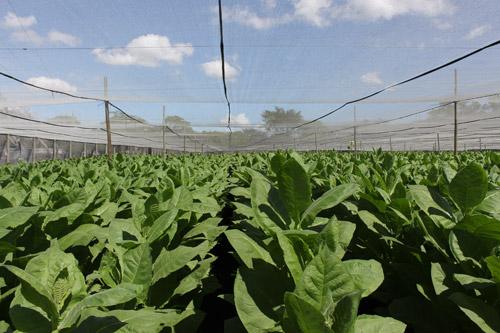 Plasencia Tobacco Field